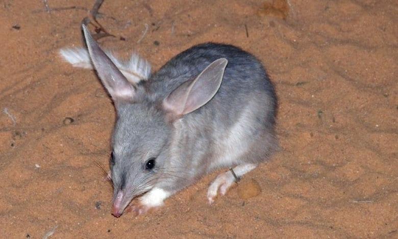 greater bilby australian camping