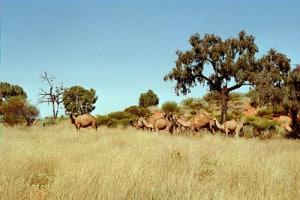 Camels on Warbo Road