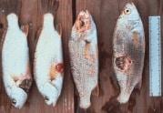 tocix fish